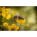 Пчелиная пыльца - «идеальная пища, созданная природой»